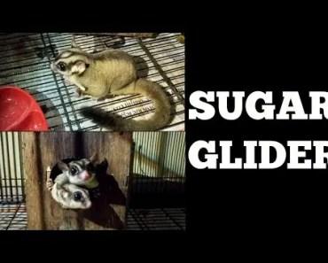 Exotic Pets - Sugar Glider & Hamster - exotic pets sugar glider hamster