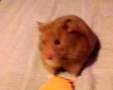 Female syrian hamster refusing a biscuit so funny. - female syrian hamster refusing a biscuit so funny