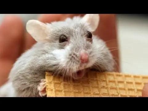 hamster vidoes