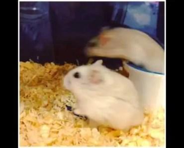 Funny Hamster rolling back - funny hamster rolling back