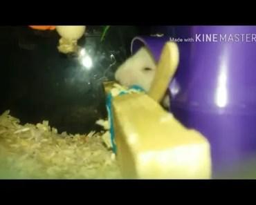 Funny Hamster Trantrum - funny hamster trantrum
