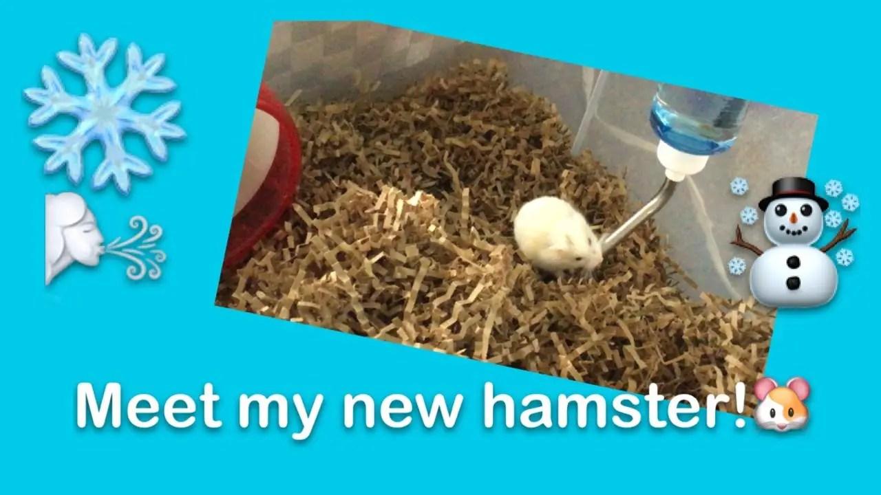 Winter white dwarf hamsters • hamsterific!