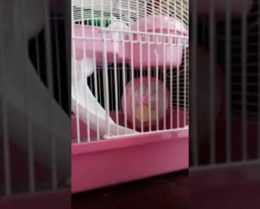 Hamster Lucu - hamster lucu