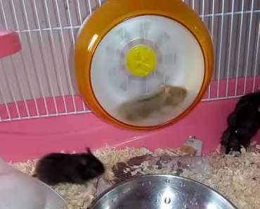Hamster Playing in the Cage | Hamster in Dehradun - hamster playing in the cage hamster in dehradun