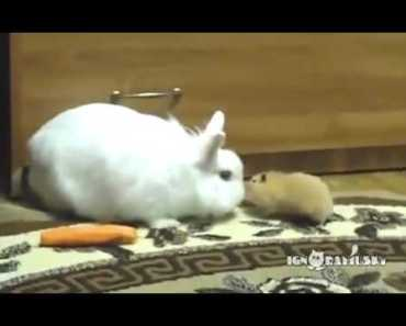 Hamster steals a carrot from a Rabbit! So Sweet!   Funny videos 2015 - hamster steals a carrot from a rabbit so sweet funny videos 2015