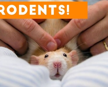 Incredible Rat & Rodent Videos of 2017 Weekly Compilation | Funny Pet Videos - incredible rat rodent videos of 2017 weekly compilation funny pet videos