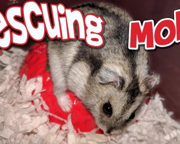 Rescuing my 3rd Foster Hamster | Molly | Russian Dwarf Hamster - rescuing my 3rd foster hamster molly russian dwarf hamster