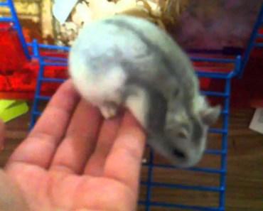 Tame Winter White Hamster - tame winter white hamster