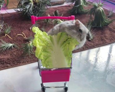 Tiny Hamster Eating In A Supermarket Trolley - Cute And Funny Videos Of Hamsters - 1534726991 tiny hamster eating in a supermarket trolley cute and funny videos of hamsters