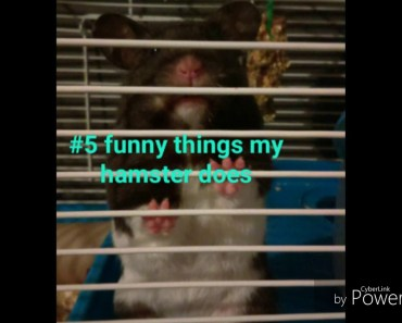 5 funny things my hamster does (by me and my hamster) - 5 funny things my hamster does by me and my hamster