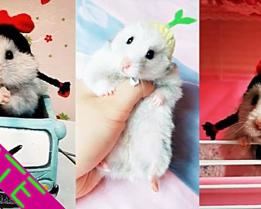 A Cute Hamster That Likes Wearing A Wig or Hat [Cute & Funny] #4 - a cute hamster that likes wearing a wig or hat cute funny 4