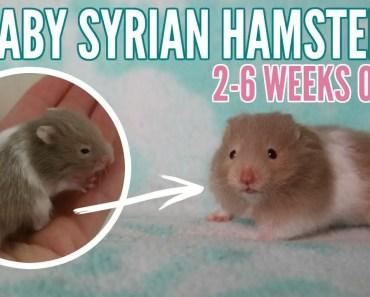 BABY HAMSTERS   2 weeks to 6 weeks - baby hamsters 2 weeks to 6 weeks
