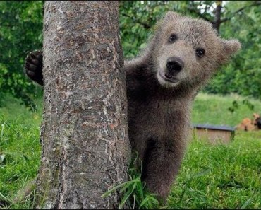 BEARS Are So Cute - Funny Bear And Cutest Bear Cubs Videos Compilation 2018 [BEST OF] - bears are so cute funny bear and cutest bear cubs videos compilation 2018 best of