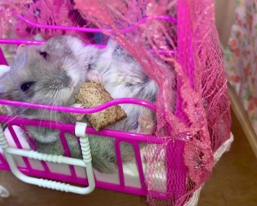 Big baby hamster in a cot - Cute and funny videos of hamsters - big baby hamster in a cot cute and funny videos of hamsters