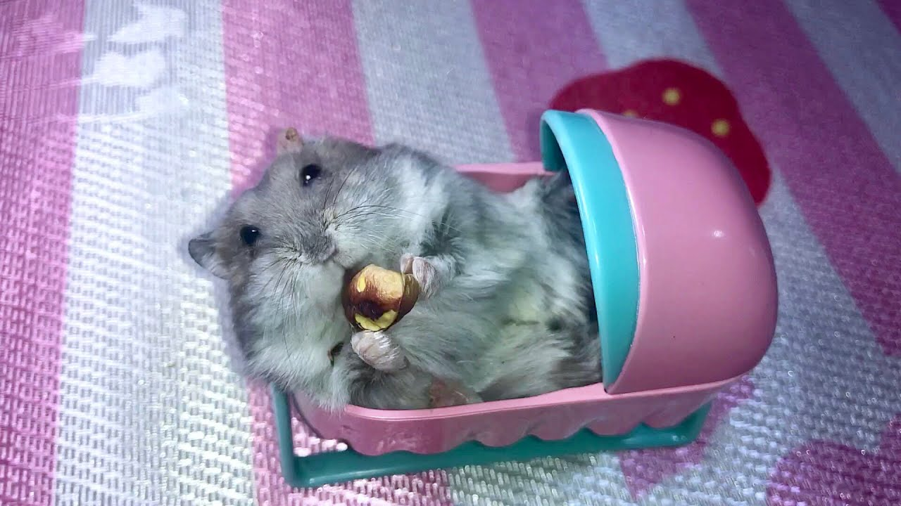 Can hamsters eat pistachios Cute and funny hamster in a baby