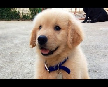 Cute Golden Retriever Dogs and Puppies 4 | Cute Dogs Doing Funny Things - cute golden retriever dogs and puppies 4 cute dogs doing funny things