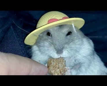 Cute hamster in a hat - Funny videos of hamsters - cute hamster in a hat funny videos of hamsters