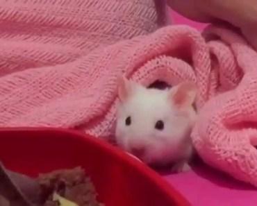 Cute hamster loves snuggling under blanket - Funny videos of hamsters - cute hamster loves snuggling under blanket funny videos of hamsters