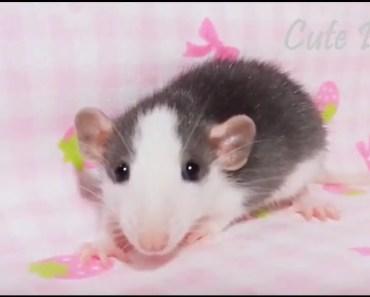 Cute Pet : Funny hamste    Cute Hamster (Part 1) - cute pet funny hamste cute hamster part 1