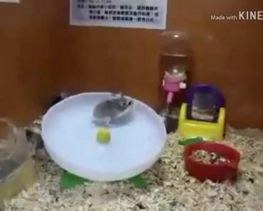 Dam dadi do funny hamsters! - dam dadi do funny hamsters