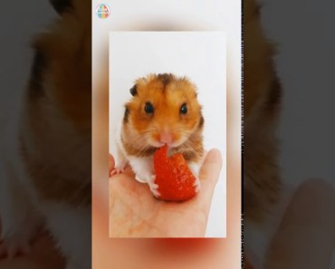 Funniest Hamsters Of All Time Funny Hamster Videos Compilation 2018 - funniest hamsters of all time funny hamster videos compilation 2018