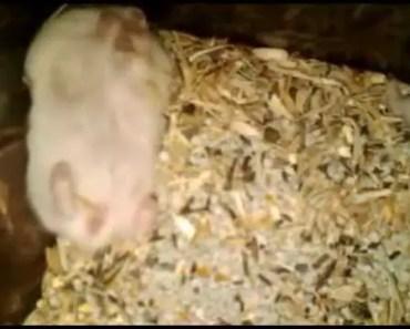 Funny Hamster: Keep Eat | Hamster Lucu: Yang Penting Makan - funny hamster keep eat hamster lucu yang penting makan