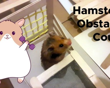 Funny Hamster video. Hamster Obstacle Course. DIY - funny hamster video hamster obstacle course diy