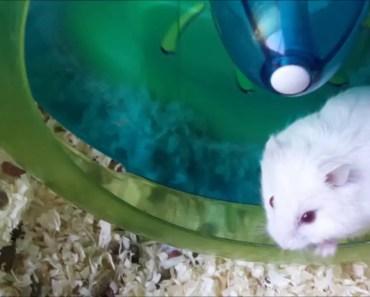 Hamster Anora's Update Video - hamster anoras update video
