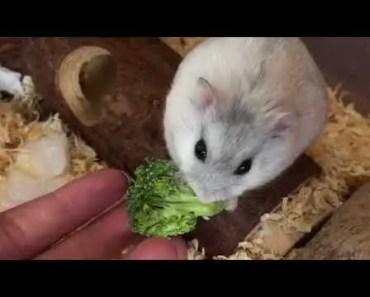 Hamster Asmr *satisfying sounds* - hamster asmr satisfying sounds