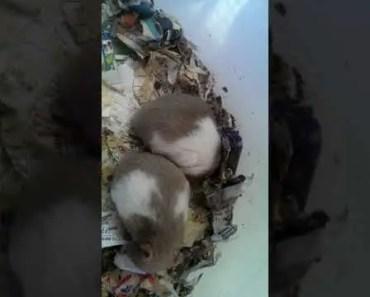 HAMSTER LUCU DAN BESAR PART 2 (FUNNY AND BIG HAMSTER PART 2) - hamster lucu dan besar part 2 funny and big hamster part 2