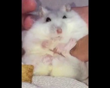 Happy hamsters love their apple pies - Cute and funny hamster videos - happy hamsters love their apple pies cute and funny hamster videos