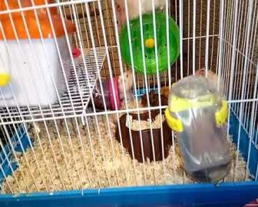 syrain and chinese hamster ko ek sath nhi rakhna. don't keep hamster mutations together. - syrain and chinese hamster ko ek sath nhi rakhna dont keep hamster mutations together