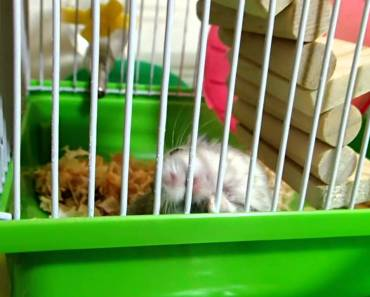 Hamster Lifts Entire Cage by HIMSELF! -