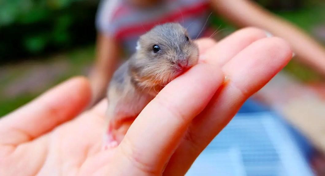 Pet Hamster Care Tips for Beginners