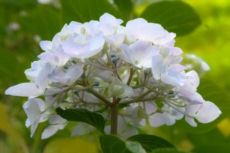 紫陽花の写真