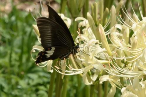 蝶と彼岸花の写真