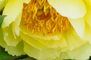 牡丹の写真
