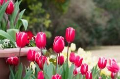 冬咲きチューリップの写真