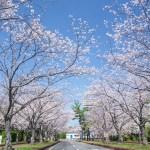 海の中道海浜公園の桜の写真