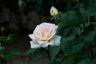 福岡市植物園のバラの写真