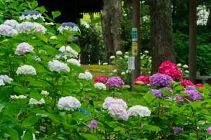 筥崎宮あじさい苑の紫陽花の写真