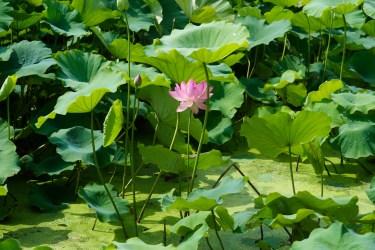 島津峯ヶ浦池公園の蓮の写真