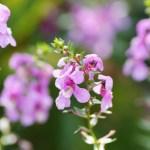 アンゲロニア(Angelonia)の特徴と花言葉