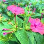 オシロイバナ(Mirabilis jalapa)の特徴と花言葉