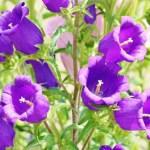 カンパニュラ(bellflower)の特徴と花言葉