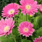 ガーベラ(Gerbera)の特徴と花言葉