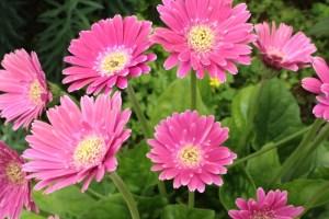 庭に咲いたピンクのガーベラ