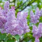 ライラック(Lilac)の特徴と花言葉