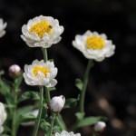 ハナカンザシ(Rhodanthe)の特徴と花言葉