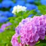 アジサイ(hydrangea)の特徴と花言葉 誕生花